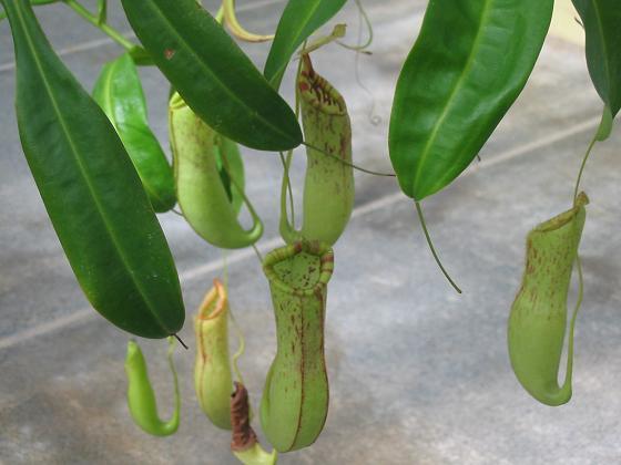 Plantas Carnívoras1