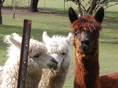 Mum and Dad's alpacas...some of them