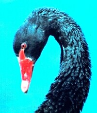 Black swan There's nothing intrinsically moody or morose about black swans ...