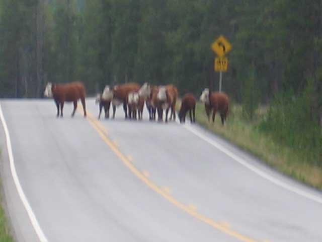 cattle gang