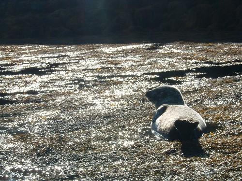 Dia 06 - 12 -Skye Island - Seals