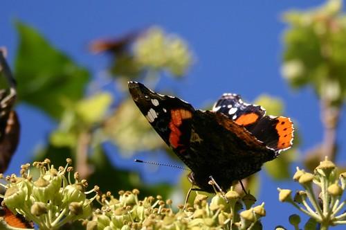 Butterfly on blue sky VII
