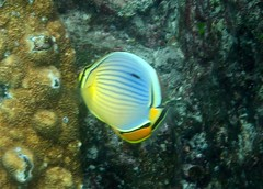 Indian Ocean Redfin Butterflyfish