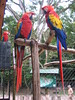 Colorful Birds at Copan