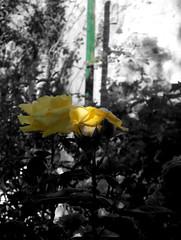 rose jaune,041105