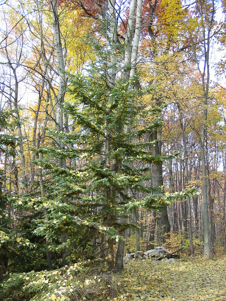 Deciduous leaves decorate a white pine