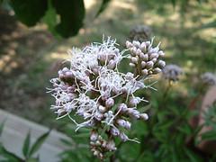 7分咲きのフジバカマ