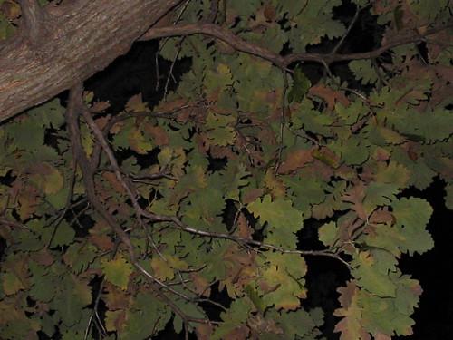 bur oak at night