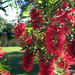 redbottlebrush1