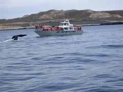 Peninsular Valdez - 06 - Whale