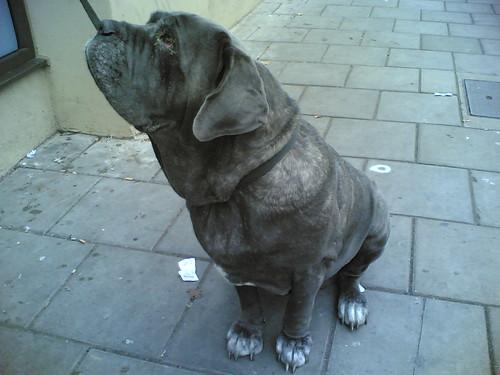 Big Brighton Dog