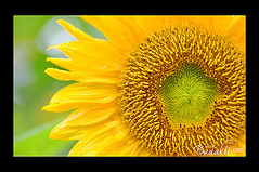 Sun Flower photo by budakli