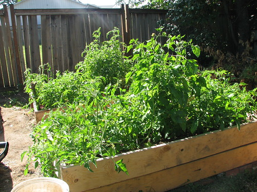 Two tomato beds