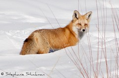Red Fox photo by Wild Valley Photos