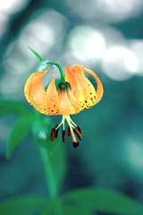 Wild lily photo by kevin dooley