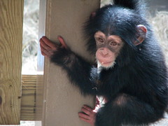 Baby Chimpanzee George - Knoxville Zoo photo by SeeMidTN.com (aka Brent)
