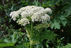 3e. Cow Parsnip Photo