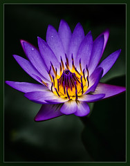 Water-lily photo by TT_MAC