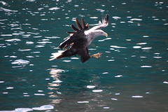 Wild White Tailed Sea Eagle Isle of Skye 2009 photo by Englishpointers (Hate Sleep Apneoa)