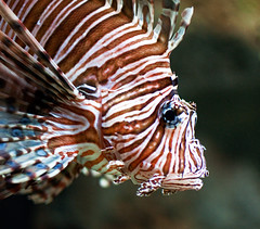 Eye of the Tiger . . . er, Lionfish photo by JLMphoto