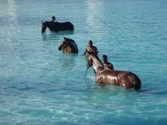 Barbados - horses photo by NigelDurrant