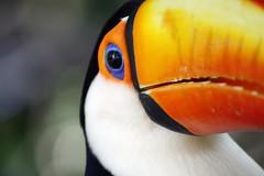 Toucan bird photo by @Doug88888