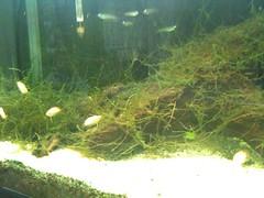 魚を増やした。コリドラスとグラミー。