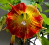 Compensation for Mozart's Lost Music. Scarlet Trumpet Flower (Brugmansia sanguinea) in the Old Hortus Botanicus, Utrecht, The Netherlands
