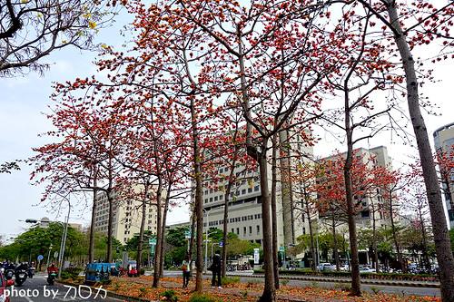 24_台南東豐路木棉花