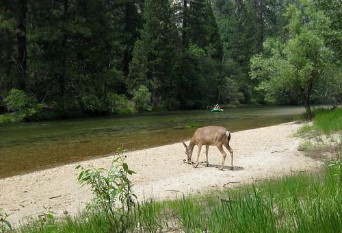 H's deer