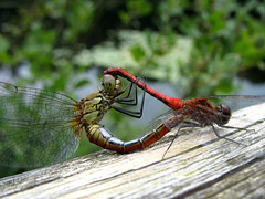 Dragonfly Vagrant Darter (Mating) - Sympetrum sanguineum photo by Batikart ... handicapped ... sorry for no comments