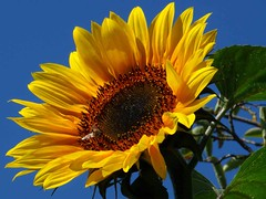 Sunflower photo by Genuine dabber