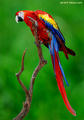 Parrot 1 photo by Peterzpham