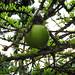Crescentia cujete (tentative) (fruit), Calabash tree, San Pedro Sula, Honduras