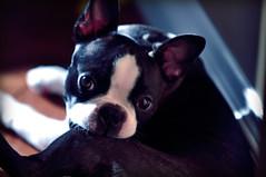 Boston Terrier Puppy photo by CrumpJ