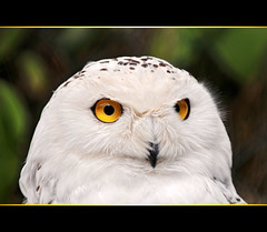 Portrait of a snowy owl photo by Tambako the Jaguar