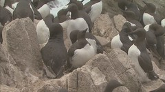 7a. Common Murres Photo