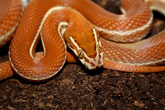 Lamprophis lineatus photo by erikpaterson