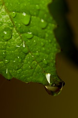 A leaf and a drop ... photo by Maarten Takens