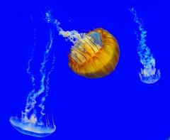 """Jelly Fish photo by """"சிலம்பொலி"""" Arun"""