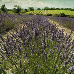 lavender field photo by Paul Grand