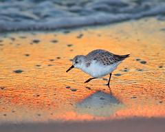 Sanderling Sunset Shuffle photo by Fort Photo