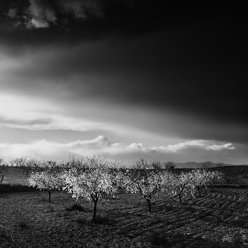 Almond Trees photo by DavidFrutos