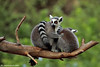 Lemur leisure time
