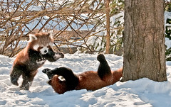 Red Pandas at play - Detroit Zoo 6 photo by C E Andersen