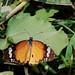Santragachi Jheel - Butterfly : Plain Tiger Butterfly