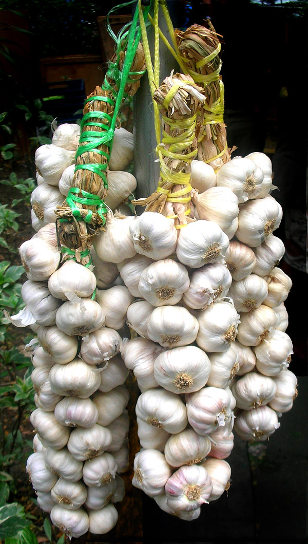 What does a garlic plant look like yahoo answers