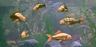 Monty python fish2 honour-roll