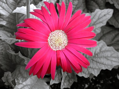 Red Flower with black and white background