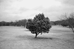 the green tree in black and white